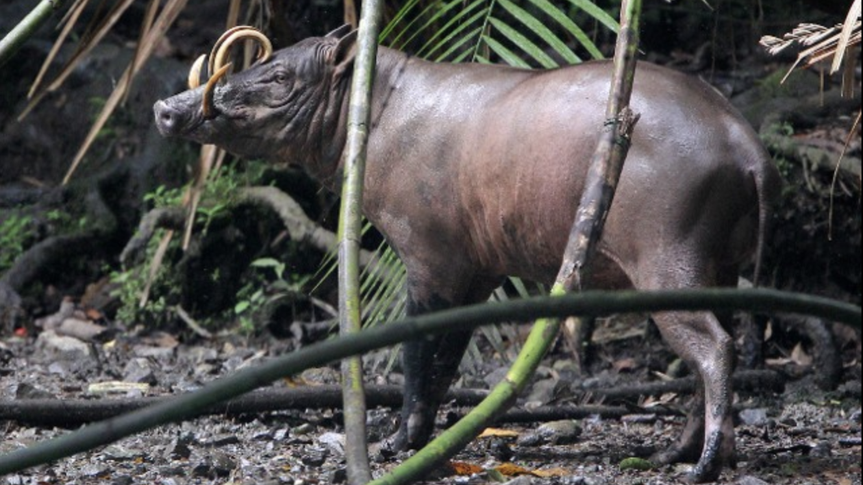 a large babirusa with curved horns in the forest